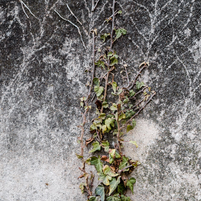 Ivy on a wall - 1